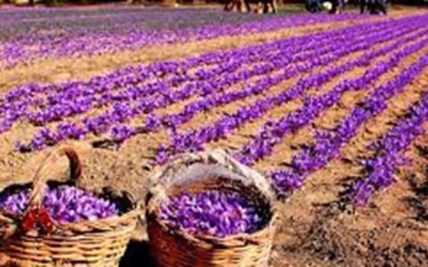 زعفران ایران به نام اسپانیا به 40 کشور صادر میشود