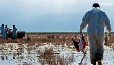 مرگ ۸۰۰ پرنده مهاجر طی ۴۸ ساعت در خلیج گرگان