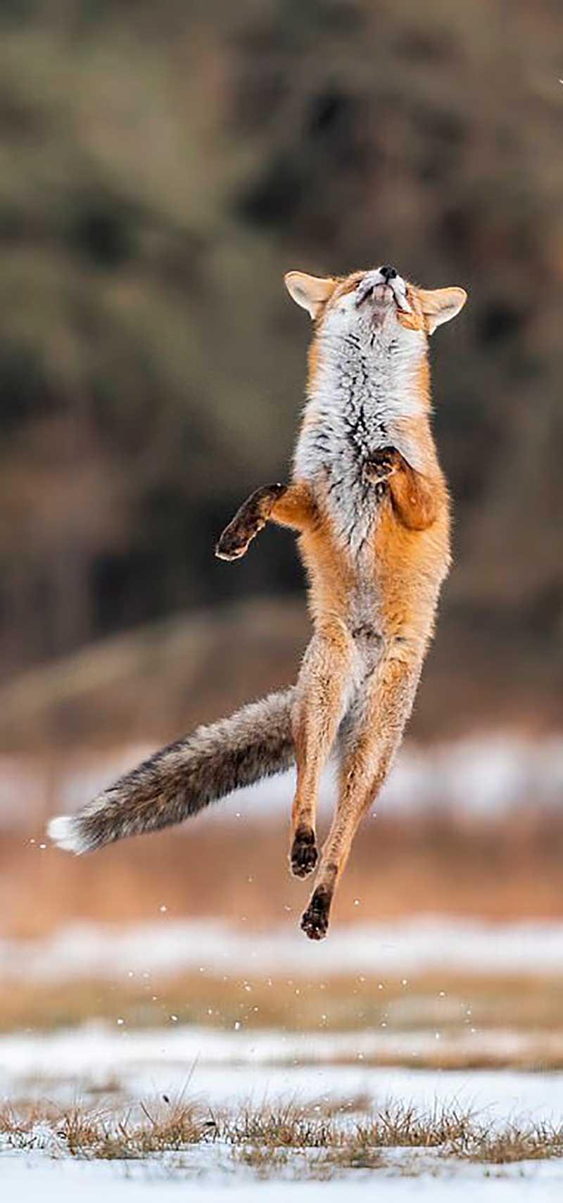 وقتی روباه از خوشحالی سر از پا نمیشناسد! (تصاویر)