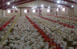 به زودی مرغها هم زنده به گور خواهند شد!