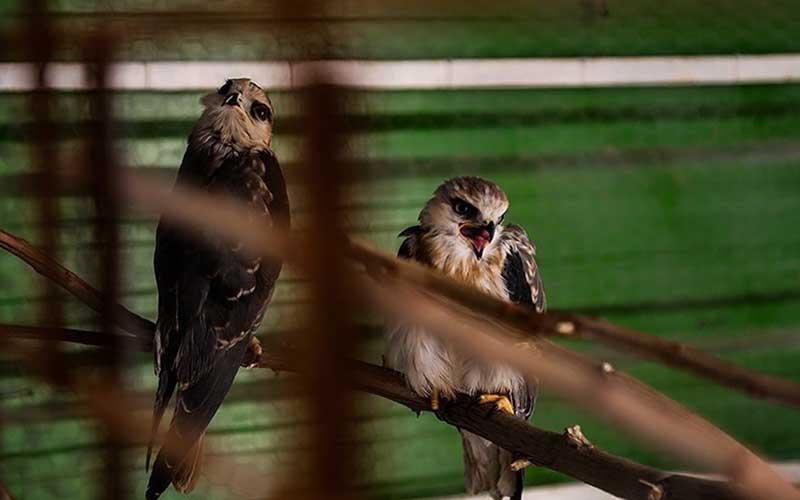 بازگشت کورکور بال سیاه به دامان طبیعت/تصاویر