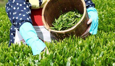چرا چای بیشترین افزایش قیمت را در سال گذشته تجربه کرد؟ افزایش قیمت, چای, مرکز آمار ایران