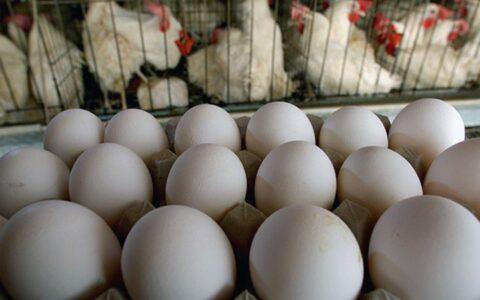 کاهش ۱۰ درصدی قیمت مرغ و تخم مرغ