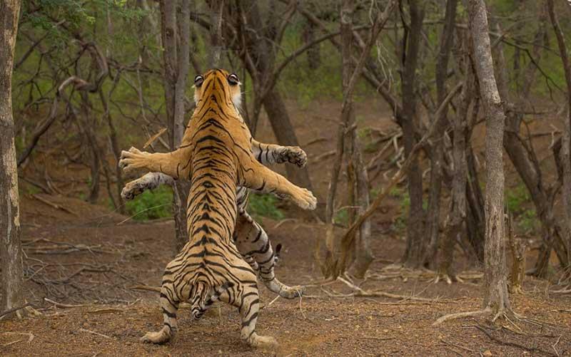 ایستادن دو ببر روی دو پا در حین مبارزه! /تصاویر