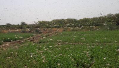 ریزش جدید ملخ صحرایی در شهرستان مرزی میرجاوه سیستان و بلوچستان, ملخ صحرایی, میرجاوه