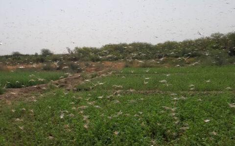 ریزش جدید ملخ صحرایی در شهرستان مرزی میرجاوه