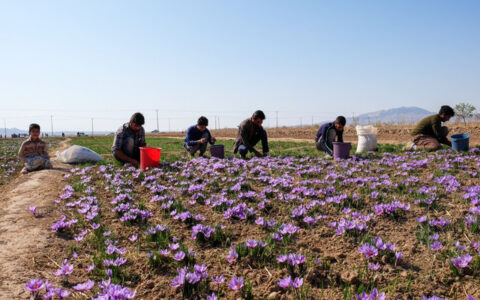 چه مقدار زعفران در کشور تولید می شود؟/ هر کیلو زعفران چند؟