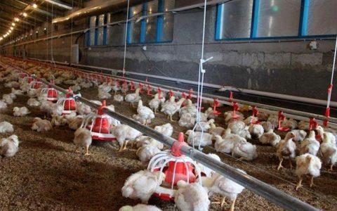تولیدکنندگان مرغ؛ دیگر تولید نمی کنیم بازار تخم مرغ, مرغ تخم گذار, ستاد تنظیم بازار