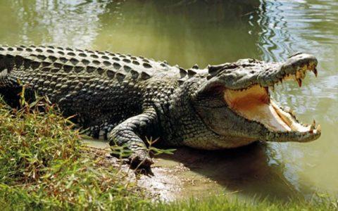 حدود ۴۰۰ تمساح در رودخانه باهوصلات، نبود آب شرب و خطر قطع دست کودک سیستان و بلوچستان, تمساح, رودخانه باهوصلات
