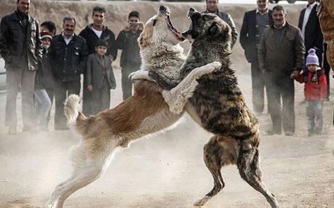 متهمان حیوانآزاری به شلاق محکوم شدند حیوانآزاری, محیط زیست
