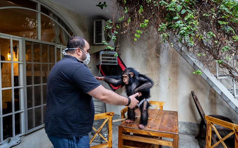باران تنها بچه شامپانزه ایران/تصاویر