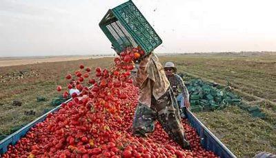 قیمت خرید حمایتی سیب صنعتی و گوجه فرنگی تعیین شد محصولات کشاورزی, قیمت گوجه فرنگی
