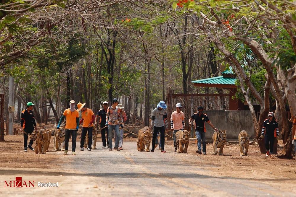 خانه ببرها - تایلند