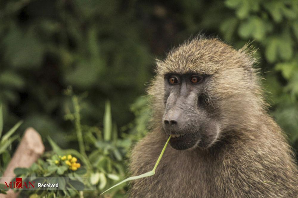 میمونهای بامزه و خطرناک