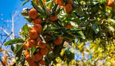 درختان خرمالوی کوچه باغهای شیراز درختان خرمالو, شیراز
