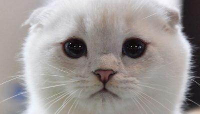 نمایشگاه گربهای نمایشگاه شوی گربهای, مسکو