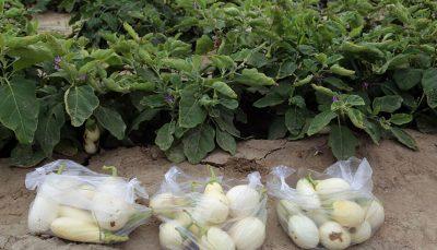تولید بادمجان سفید در هرمزگان برای نخستین بار