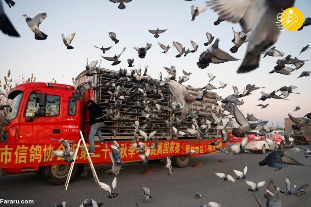 resized 819336 269 کبوتربازهای چین