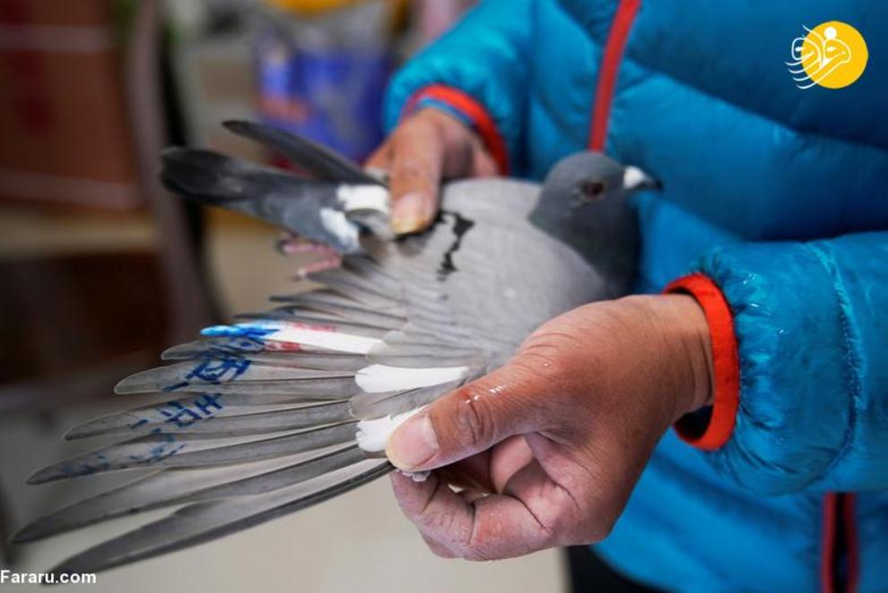 resized 819341 159 کبوتربازهای چین