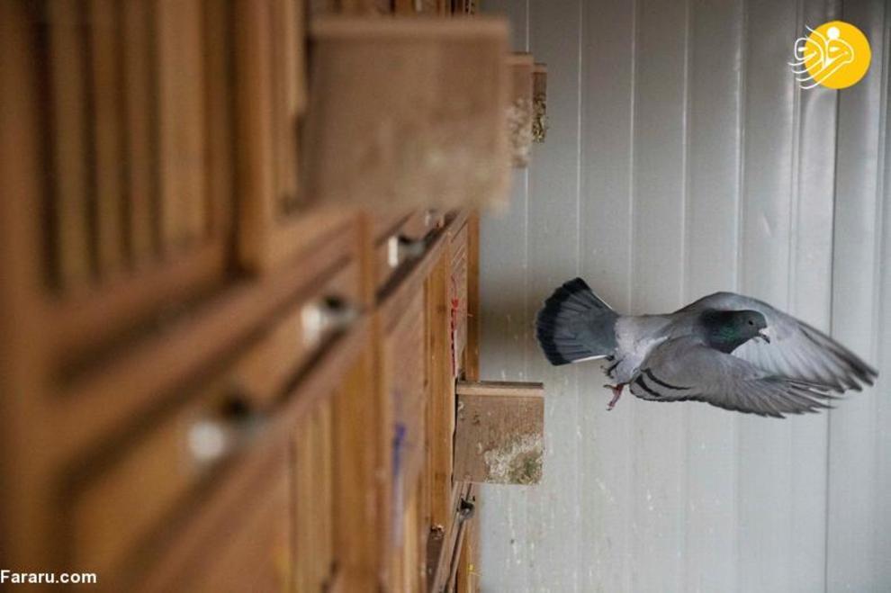 resized 819348 334 کبوتربازهای چین