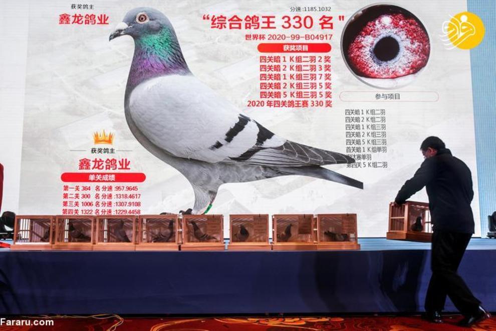 resized 819350 498 کبوتربازهای چین