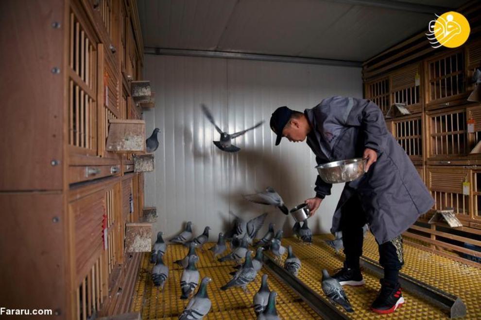 resized 819352 889 کبوتربازهای چین