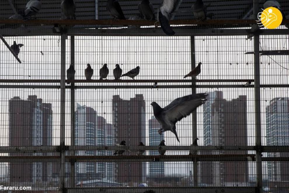 resized 819357 136 کبوتربازهای چین