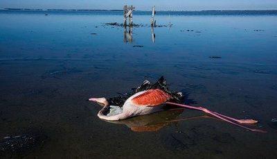 مرگ مشکوک پرندگان مهاجر در خلیج گرگان