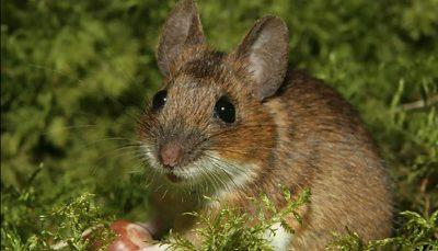 هوس موش برای خوردن نوزاد ۱۸ ماهه!/ عکس