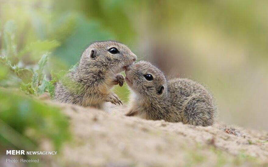 تصاویری زیبا از جوندگان کوچک