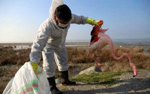 جمع آوری لاشه 1500 پرنده مهاجر در بندر گز
