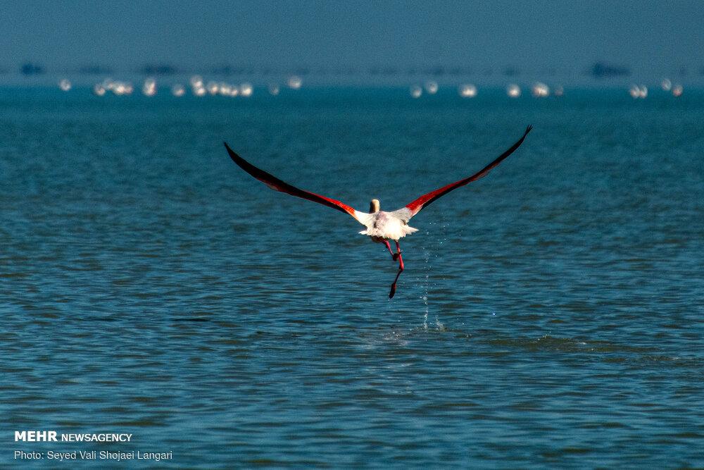 پایان مهاجرت پرندگان به میانکاله
