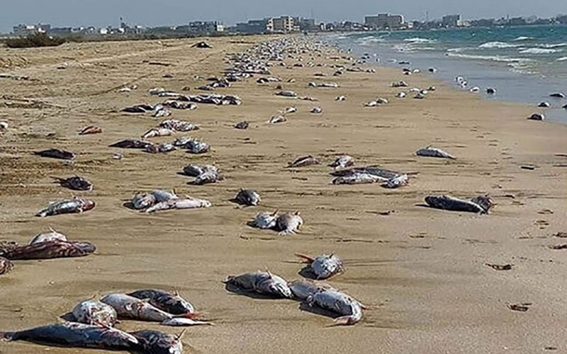 جزئیاتی از مرگ گربه ماهی ها در جاسک
