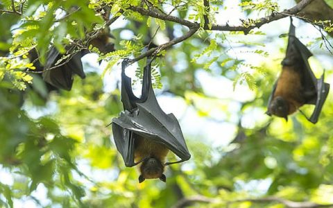 کشف ویروسی مرگبار در خفاشها