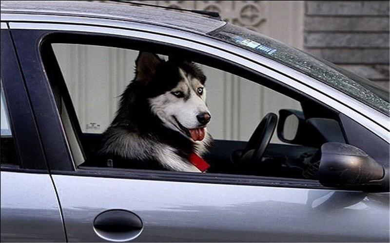 سگگردانی با خودرو پلاک دولتی در اهواز
