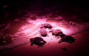 تولد لاک پشت های پوزه عقابی - جزیره کیش