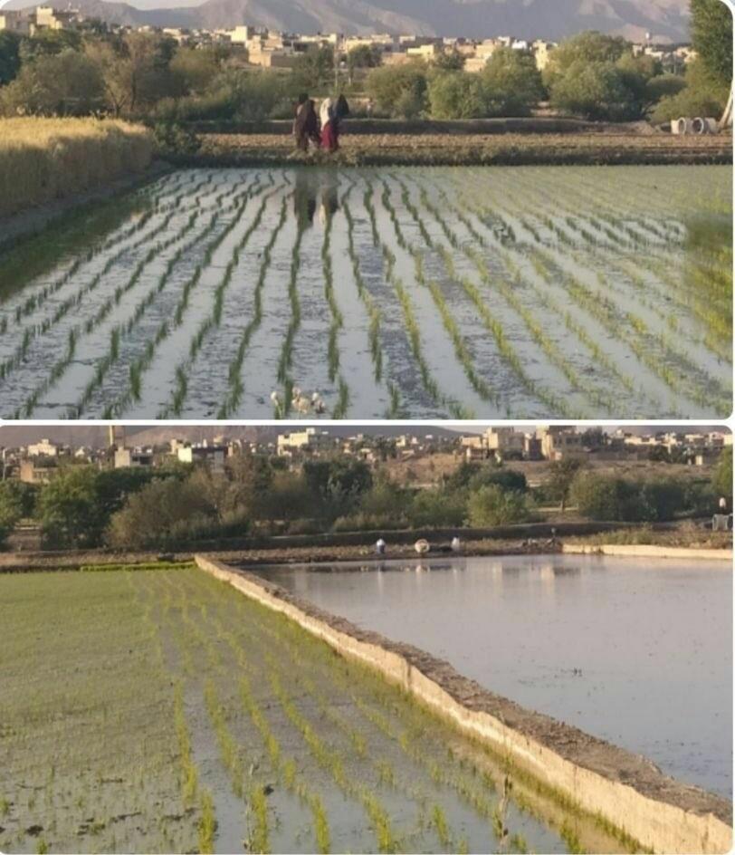 صرف آب ناچیز زاینده رود برای کشت برنج لنجان؛ چرا کسی برای بحران آب زاینده رود چاره اندیشی نمیکند؟