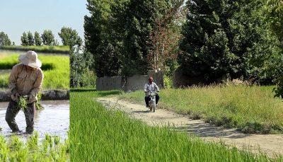 صرف آب ناچیز زاینده رود برای کشت برنج لنجان؛ چرا کسی برای بحران آب زاینده رود چاره اندیشی نمی کند؟