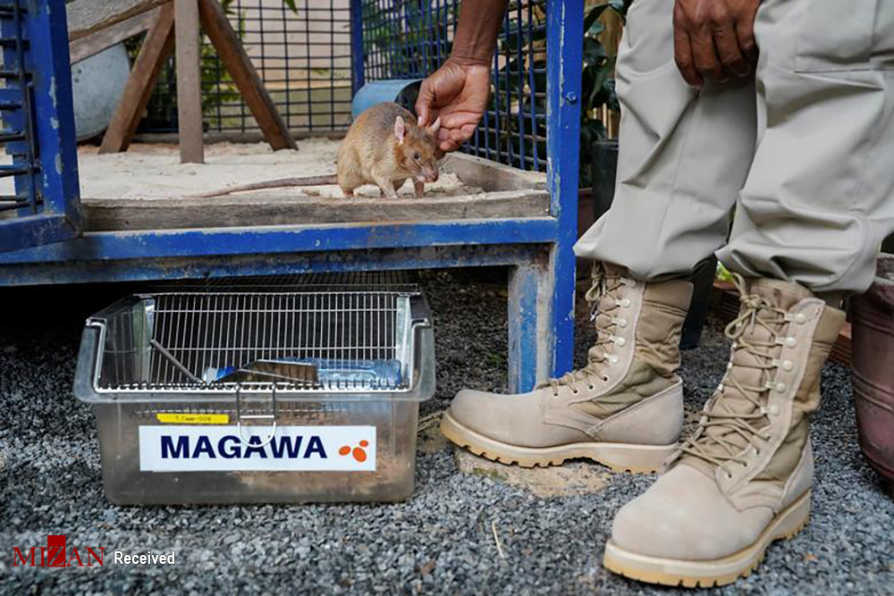 موشهای مین یاب / عکس
