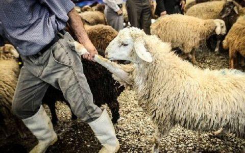 سرقت مسلحانه ۴۰۰ گوسفند از دامداری