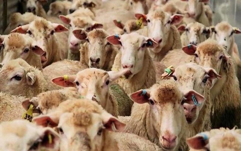 رئیس شورای تامین دام: جگر دام ها بر اثر خشکسالی سوراخ شده