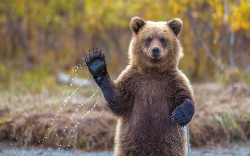 یک قلاده خرس قهوهای در فیروزکوه کشته شد