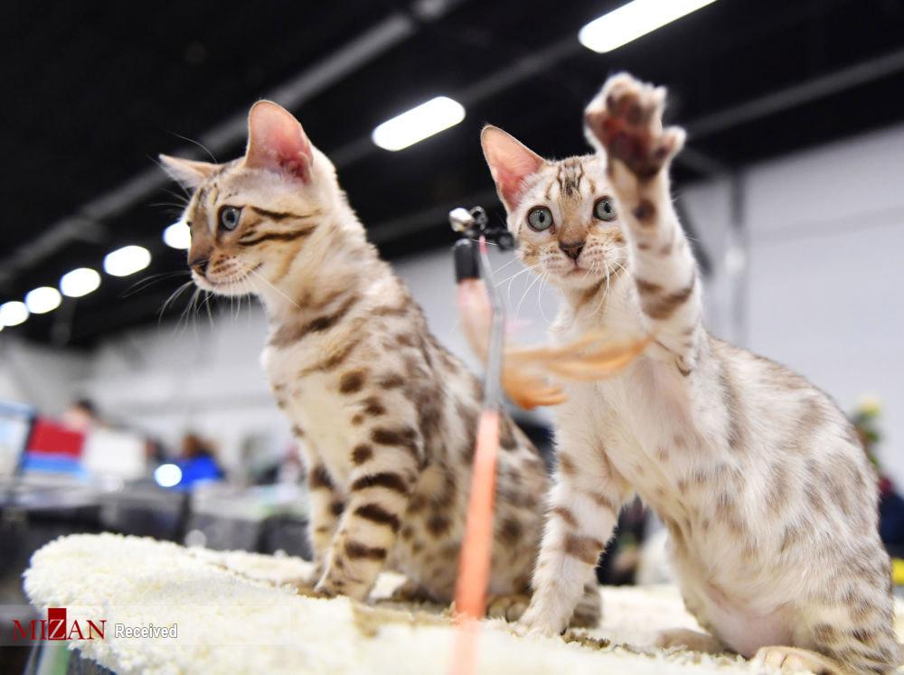 گربههای اصیل دنیا